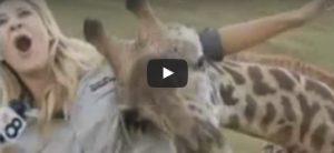 Donderdag 13 juli Filmpje: Giraf op Live-TV