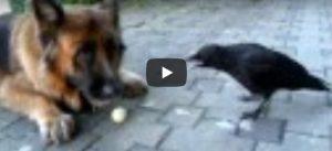 Zondag 14 januari Filmpje: Hondenkraaibal