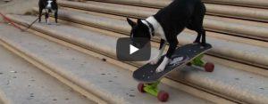 Woensdag 8 mei Filmpje: Skateboardhond