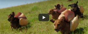 Dinsdag 16 juli Filmpje: Hete honden