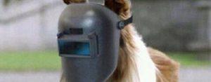 Maandag 29 juni Plaatje: Een echte Lassie-hond